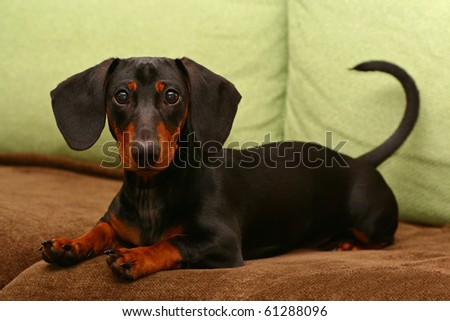 nice dachshund
