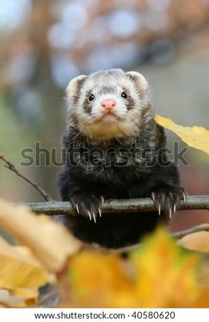 Nice ferret