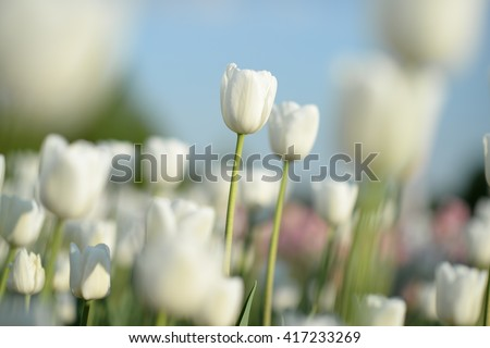 Nice flower background. Closeup view of amazing, white blooming tulips in garden.