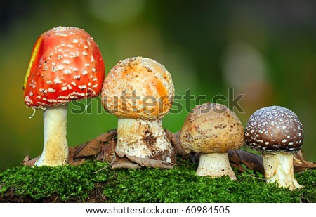 Nice Four toadstools in moss
