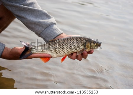 Nice freshwater chub caught on a bite