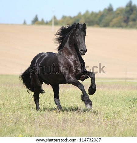 Nice friesian horse running in autumn
