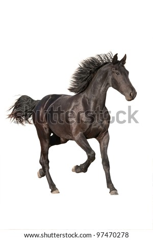 Nice friesian horse running on white background
