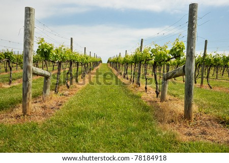 nice grape vineyard in spring against partly cloudy blue sky