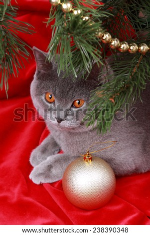 Nice gray British one year old cat on Merry Christmas and Happy New Year/Cute British cat on Holiday theme