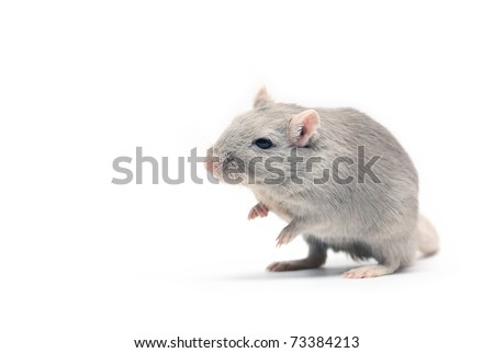 Nice gray mouse standing on white background