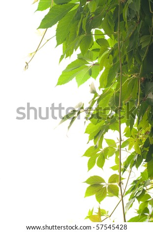 Nice green ivy isolated on white background - stock photo