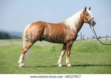 Nice Haflinger stallion looking