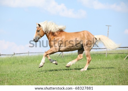 Nice Haflinger stallion running on meadow