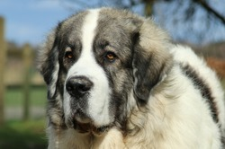 Nice head of a young Pyrenean Mastiff male.