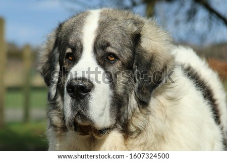 Nice head of a young Pyrenean Mastiff male. Foto stock ©