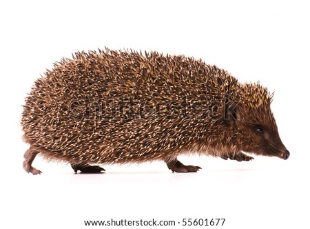 Nice hedgehog animal isolated on white background