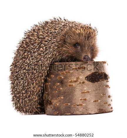 Nice hedgehog animal on stump isolated on white background - stock photo