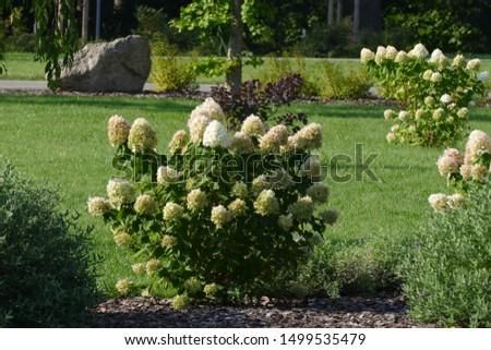 nice hortensia in nice park