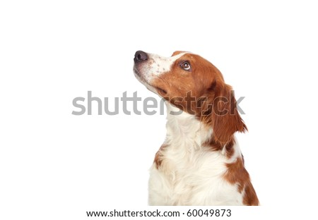 Nice hunting dog isolated on white background #60049873