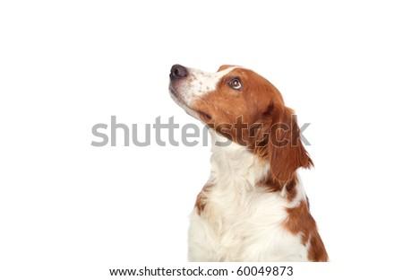Nice hunting dog isolated on white background