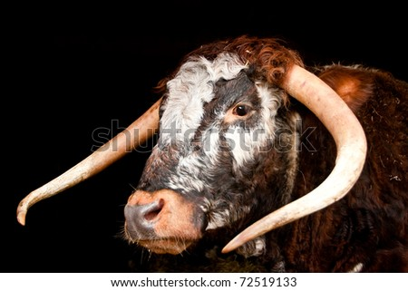 Nice image of the head of a Longhorn cow (Bos bos)