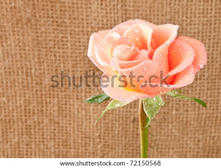 Nice image of the head of a pink rose against a jute background