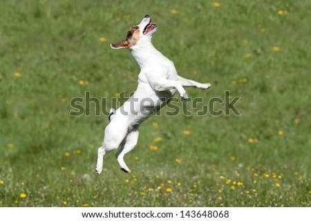 Nice Jack Russel Terrier jumping