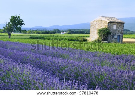 nice lavender in the landscape