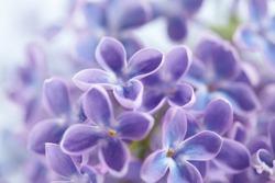 nice lilac closeup