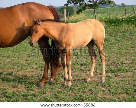Nice looking quarter horse foal in a Midwestern pasture