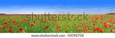 Nice panorama of green meadow with bright red poppy flowers