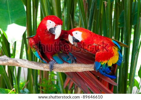 Nice parrots - Scarlet Macaw