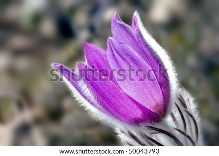 Nice pasqueflower
