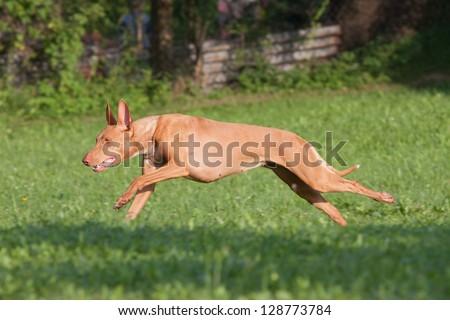 Nice pharaoh hound dog running