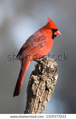 Nice photo of a Male Northern Cardinal (Cardinalis cardinalis) isolated on a gray background perched on a stump while searching for food.