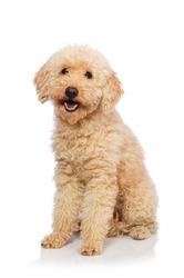 Nice poodle dog isolated on white