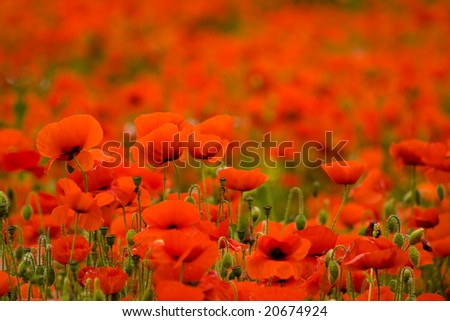 Nice poppy field can be used as a background