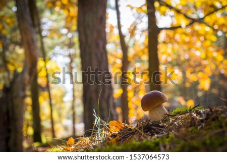 Nice porcini mushroom grows in forest. Autumn mushrooms grow in moss and leaves. Natural raw food growing in wood. Edible cep, vegetarian natural organic meal #1537064573