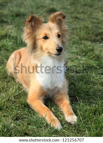 Nice posing Shetland Sheepdog on the green grass