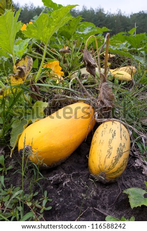 Nice pumpkins on vegetable garden - stock photo