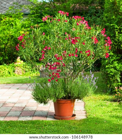 Nice Red Oleander In The Garden Stock Photo 106148978 : Shutterstock