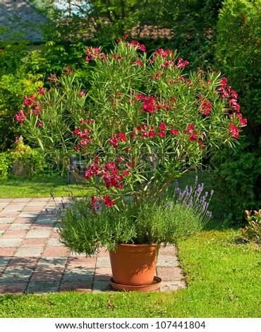 Nice Red Oleander In The Garden Stock Photo 107441804 : Shutterstock