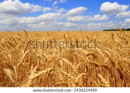 Nice scene grain wheat field  under clouds  blue sky #1438224980