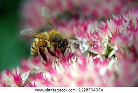 nice shot of bee on flower.well resolution photo..quality of pic is very nice.nature friendly it can be use for many purposes.