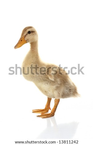 nice small duckling looking cute isolated on white