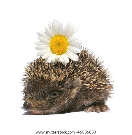 nice small hedgehog with flower in quills closeup