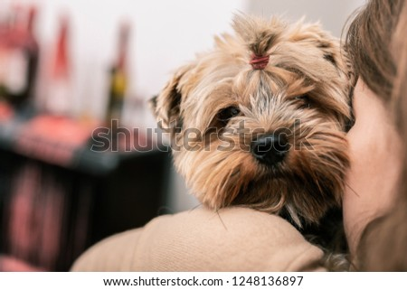 Nice snout. A terrier with a funny hairdress looking at its mistress