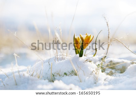 Nice Snowdrop In High Mountain Valley With Snow, Super Macro