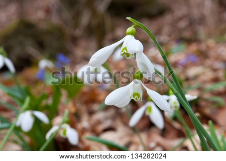 Nice snowdrops in forest - macro shoot