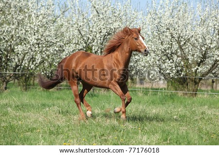 Nice sorrel horse running in front of flowering plum trees