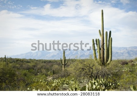 Nice spring desert nature scene in Saguaro National Monument, Tucson, Arizona. Saguaros, Ocotilla, Prickly Pear and Palo Verde Trees against interesting mountains.