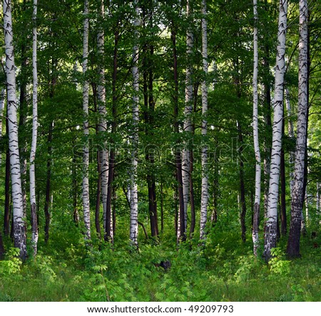 Nice summer birch forest landscape in russia stock photo