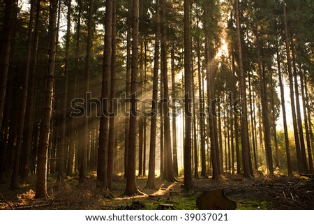 Nice sunbeams shining through the Scots Pines.