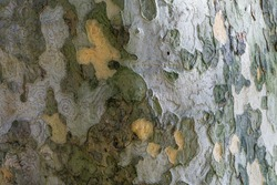 Nice texture of American Sycamore Tree (Platanus occidentalis, Plane-tree) bark in Sochi. Natural green, yellow, gray and brown spotted platanus tree bark. Close-up of camouflage background for design